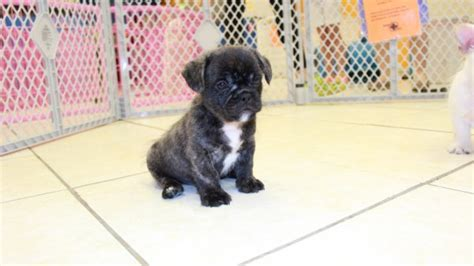 shih tzu for sale in columbia sc white bull shih puppies for sale in atlanta ga bulldog