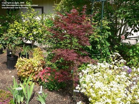 plantfiles pictures japanese maple sherwood flame acer palmatum by doss