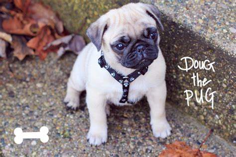 pugs that don t grow doug the pug dianeteall