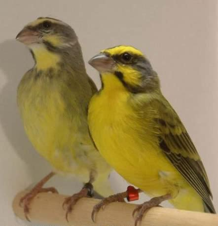 Burung Mozambik Sepasang perawatan mozambik trend burung