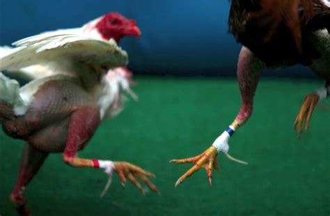 gallo s de pelea en usa pin gallos puerto rico galeria foro ajilbabcom portal on