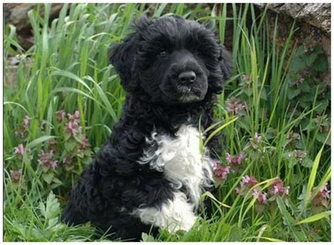 portuguese water temperament portuguese water rescue puppies breeders temperament price animals breeds