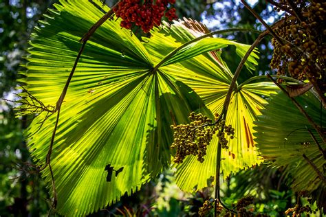 anahaw anahaw   national leaf   philippines
