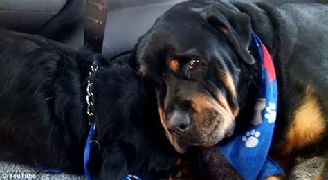 rottweiler therapy owner of grieving rottweiler is a scam artist seattle dogspot
