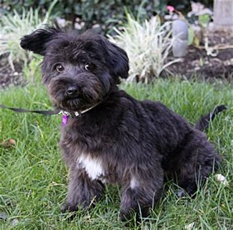 how long does it take for shoodle to build more about the scottish terrier poodle mix aka scoodle