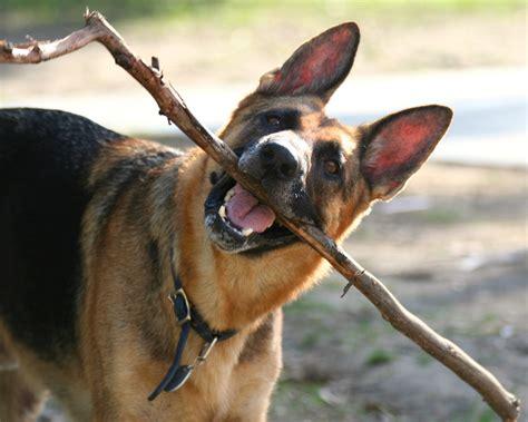 jaundice in dogs stick noten animals