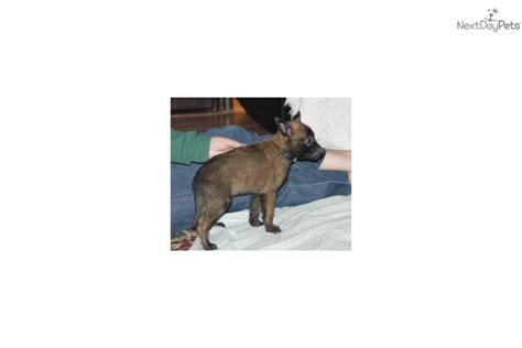 belgian malinois puppies for sale near me belgian malinois puppy for sale near peoria illinois 53b83855 7071