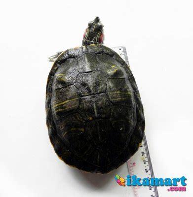 Jual Kura Kura Brazil Yahud Kaskus jual kura kura brazil 15cm hewan peliharaan