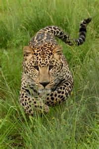 Juvenile Jaguar Afrika Store Norske Leksikon