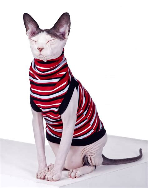 in sweater 50 cutest hairless sphynx cat photos golfian