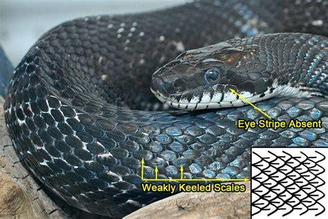 black and white diamond pattern snake eastern ratsnake