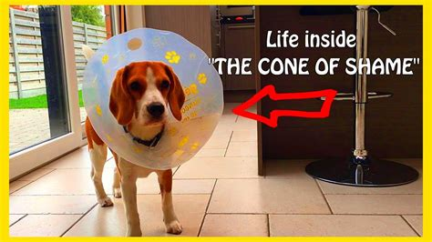 cone of shame puppy vs cone of shame puppy the beagle