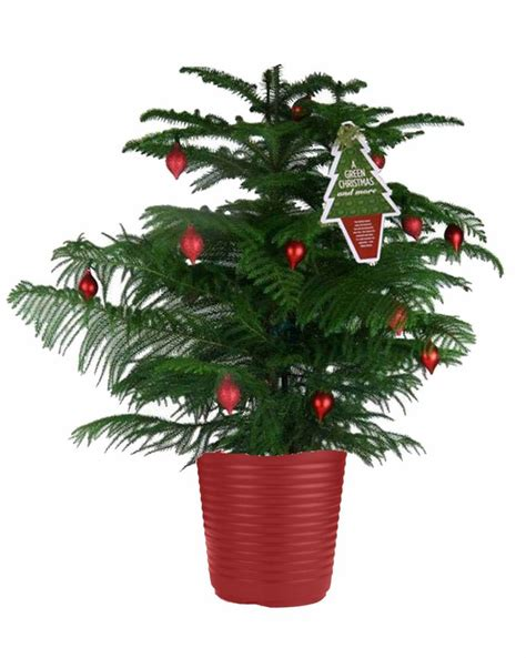 norfolk island pine grow your christmas tree year round