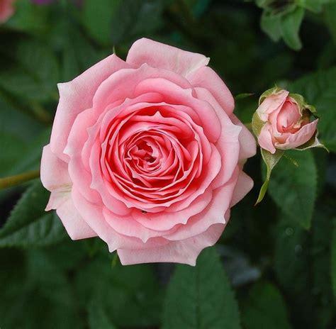 piante con fiori rosa pianta con fiori rosa fiori delle piante pianta dai