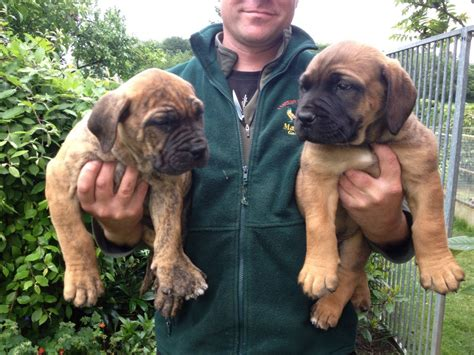 boerboel puppies boerboel puppies for sale shifnal shropshire pets4homes