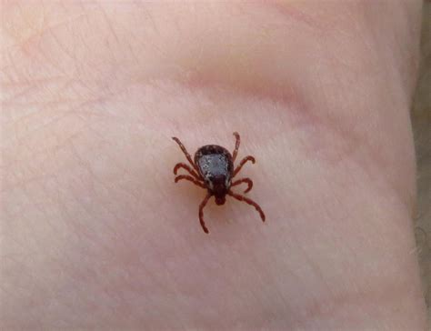 how can a live with lyme disease can that tick carry lyme disease this uri website can help wnpr news
