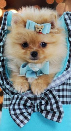 is boo a teacup pomeranian 25 best ideas about teacup pomeranian on teacup pomeranian puppy