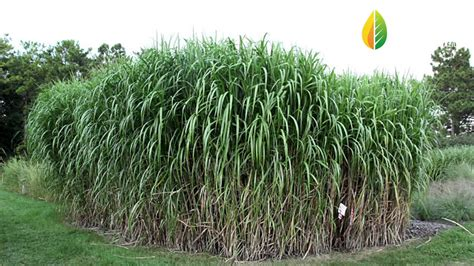 giant carajas grass elephant grass with energy crops