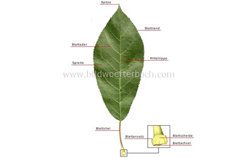 Beschriftung Laubblatt by Pflanzenreich Blatt Aufbau Eines Blatts Bild