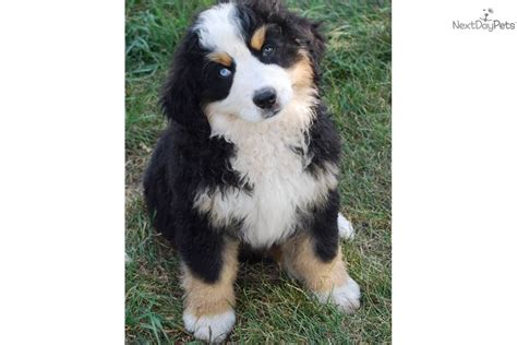 bernese mountain puppy for sale near sioux city iowa be7a5dfc c661 bernese mountain puppy for sale near sioux falls se sd south dakota 3b9b30e7 b391