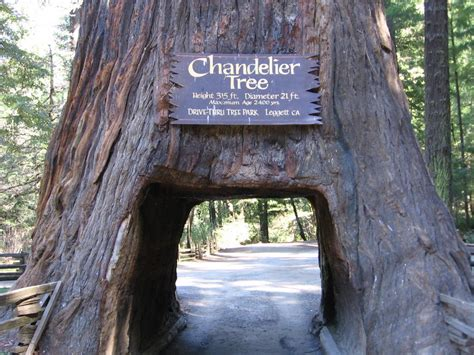 chandelier tree in the drive thru tree park chandelier tree mapio net