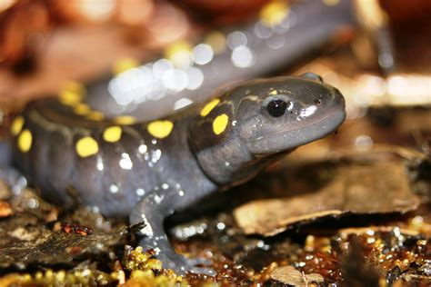 Finder Umass Neparc Northeast Partners In Hibian And Reptile Conservation
