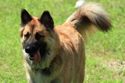 german shepherd breed german shepherd breed 187 information pictures more