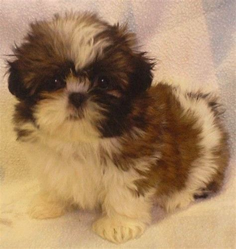 miniature shih tzu puppies miniature shih tzu my style