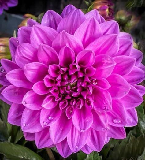jual jenis bunga dahlia ungu bangkok toko bungaku