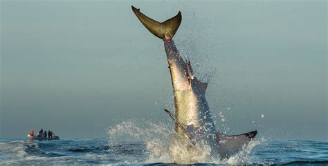 great white shark jumps in boat great white shark jumps into fishing boat boat