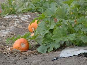 when to plant pumpkin seeds for pumpkin plant