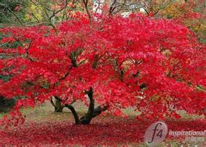 Flowers Delivery Usa - red acer tree f4 inspirational images