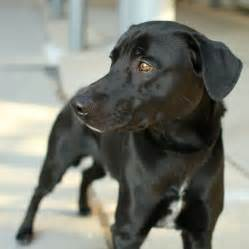 Cute dogs cute black labrador retriever