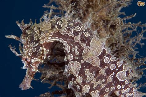 Caring for Lined Seahorses (Hippocampus erectus)   Pets4Homes