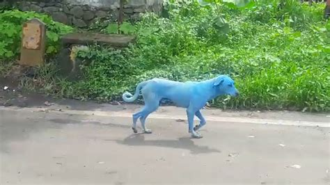 blue dogs india the reason why dogs are turning blue in mumbai will you