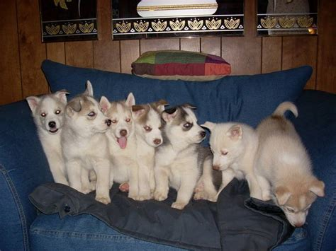 pomsky puppies for sale indiana pomsky puppies for sale indianapolis pomsky picture breeds picture