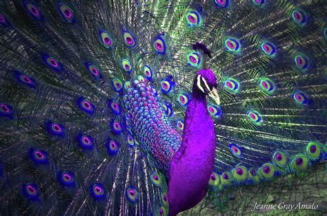 Home Decor India by Preening Purple Peacock Photograph By Jeanne Gray Amato