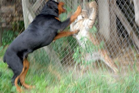 fighting rottweilers caged lynx fighting with rottweiler flickr photo
