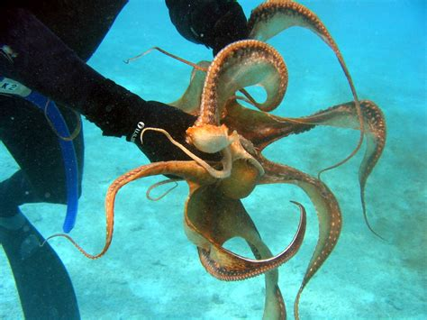 octopus l octopus the biggest animals kingdom