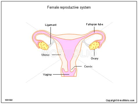 diagram reproductive organs human anatomy chart page 200 of 202 pictures of human