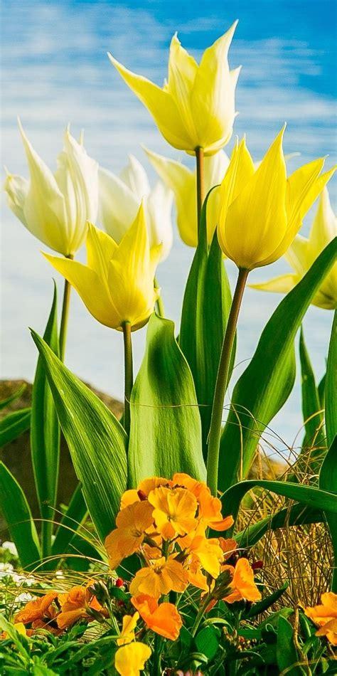 Geneva Flowers 12 yellow white flowers on lake geneva with swiss alps