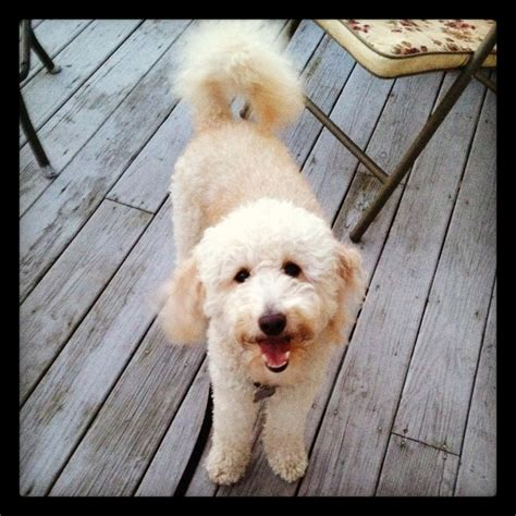 goldendoodle puppy biting miniature goldendoodle my favorite things