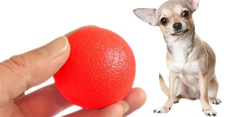 how to teach a fetch how to teach your chihuahua to play fetch chihuahua tips