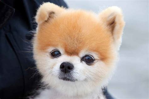 pomeranian name pomeranian names www pixshark images galleries with a bite
