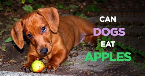 can dogs eat apples can dogs eat apples the delicious but poisonous treat