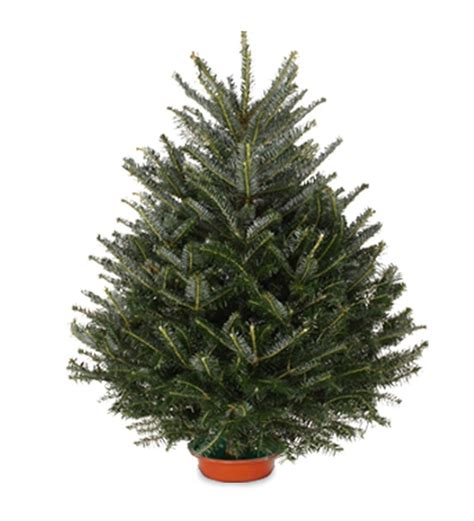 fresh cut fraser tabletop fir tree with stand 36 quot h