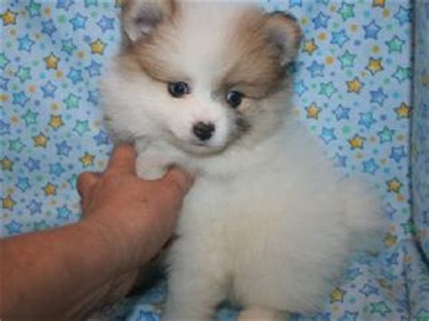 merle pomeranian puppies for sale pomeranian puppies for sale