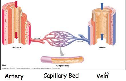capillary beds biomedical science biom 2000 de s11 gt martino gt flashcards gt term test 2 chpt 4