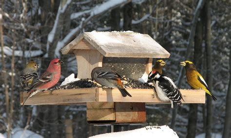 cornell backyard bird count the great backyard bird count group habitat network