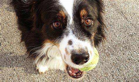 state with most dog owners 2016 washington state police warn dog owners of tennis ball bombs
